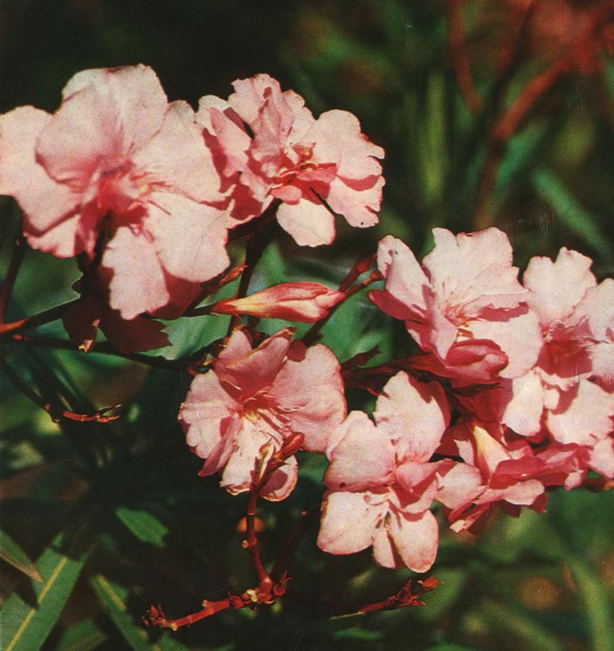 Олеандр и его цветки